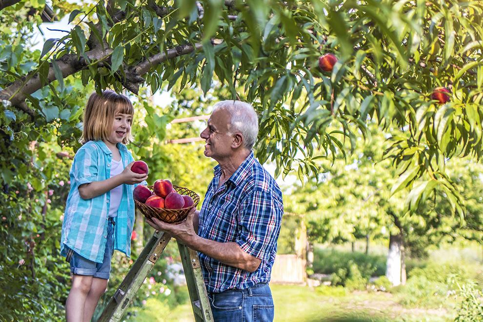 Farmer in peach orchard